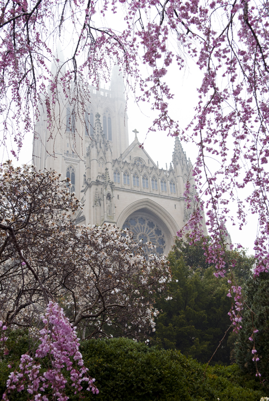 A photograph taken before the Washington National Cathedral was damaged by an earthquake show spring blooms framing a fog-enshrouded tower.
