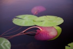 Lily pads in the Okavango Delta in Botswana.