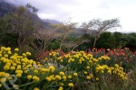 pincushion proteas in Cape Town
