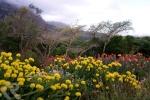 pincushion proteas in Cape Town