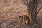 leopard in Zambia