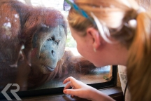 A orangutang looks at a young woman through glass at the Singapore Zoo.