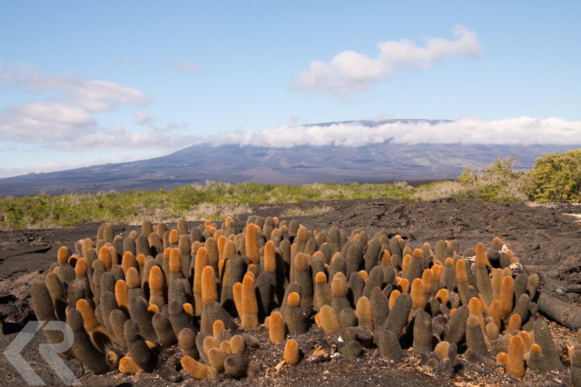Lava cactus and landscape in Fernandina