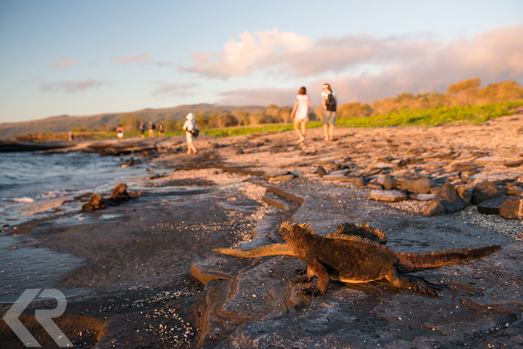 Marine iguanas at sunset