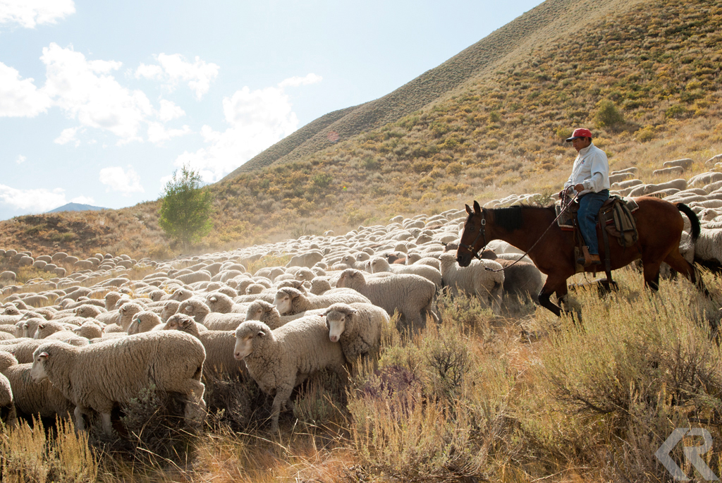 Herding sheep in Idaho.