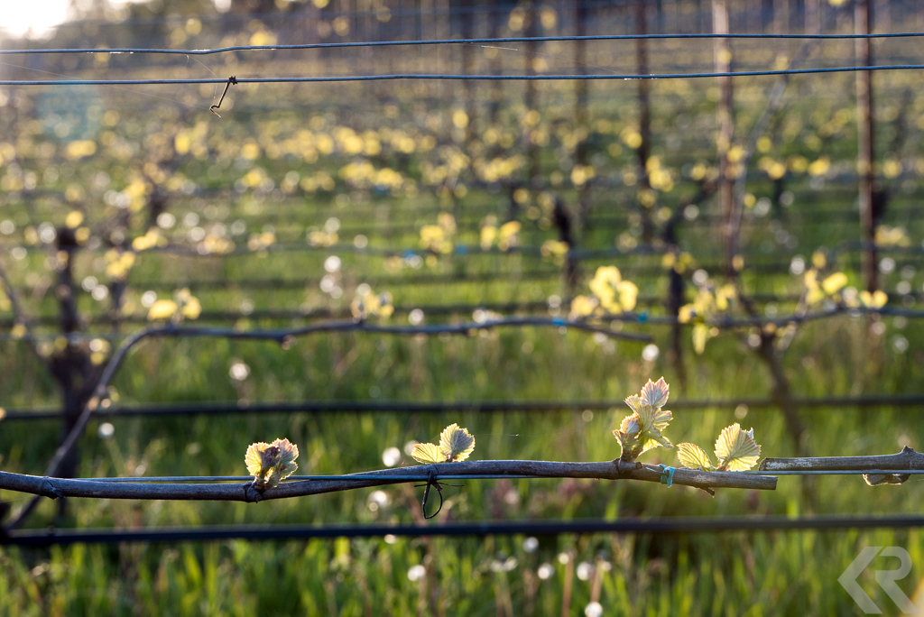 Buds on grape vines in Oregon Willamette Valley
