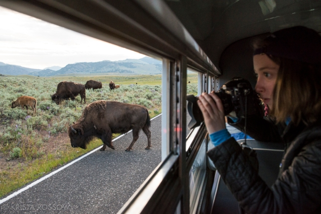 Krista-Rossow-Yellowstone-bison-jam
