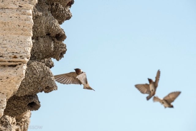 Krista-Rossow-Yellowstone-swallows