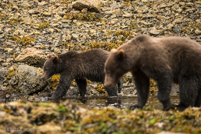 krista-rossow-alaska-photography-brown-bears-pavlof