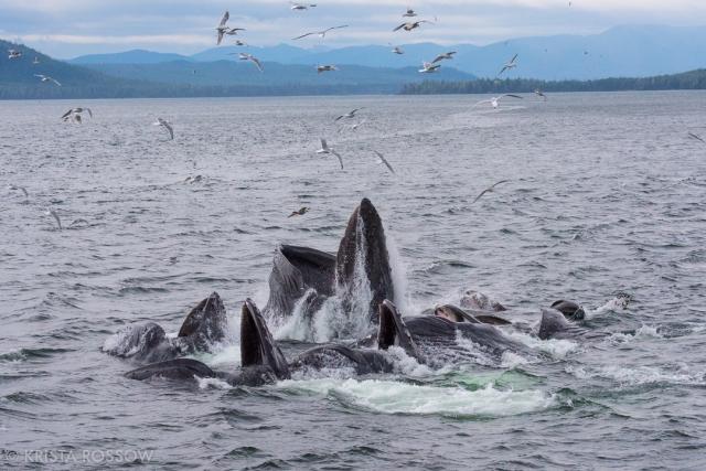 krista-rossow-alaska-photography-whales-feeding