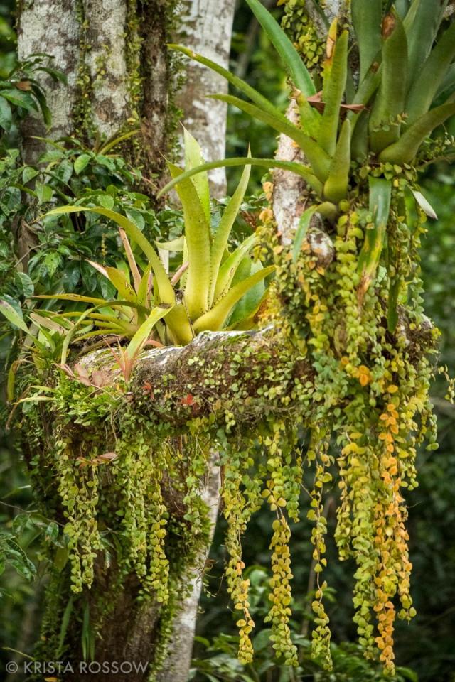 10-Krista-Rossow-Peru-Amazon-bromeliads