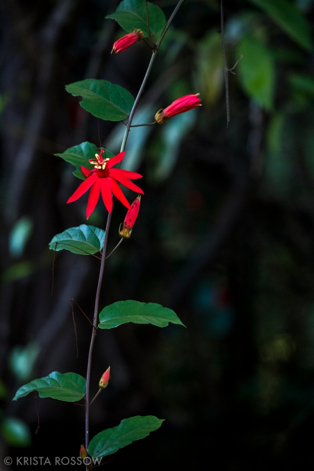 6-Krista-Rossow-Peru-Amazon-passionflower