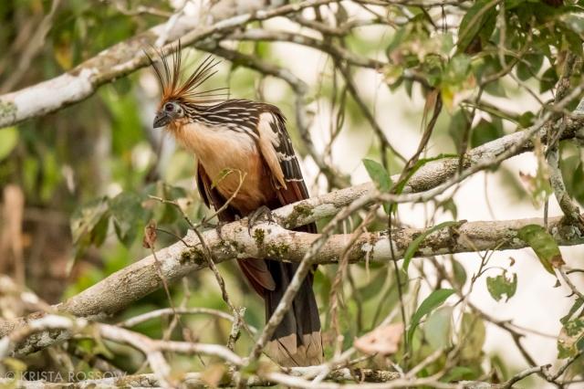 9-Krista-Rossow-Peru-Amazon-hoatzin