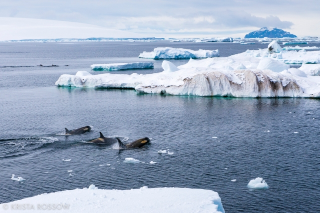 krista-rossow-antarctica-photography-orcas