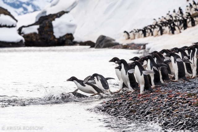 krista-rossow-antarctica-photography-penguins-diving