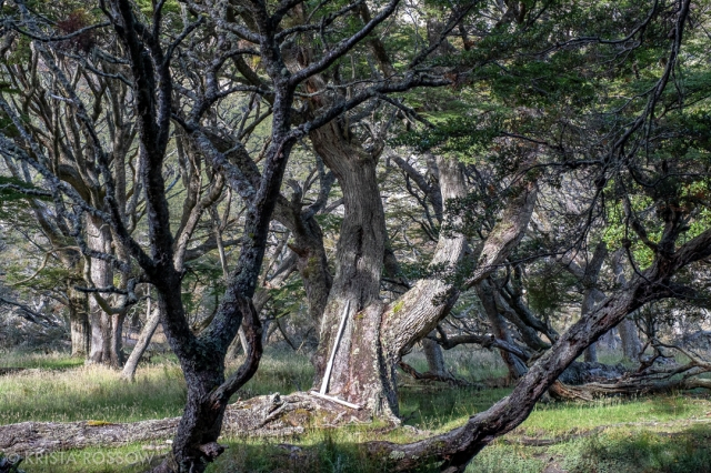 krista-rossow-chilean-patagonia-karukinka-trees