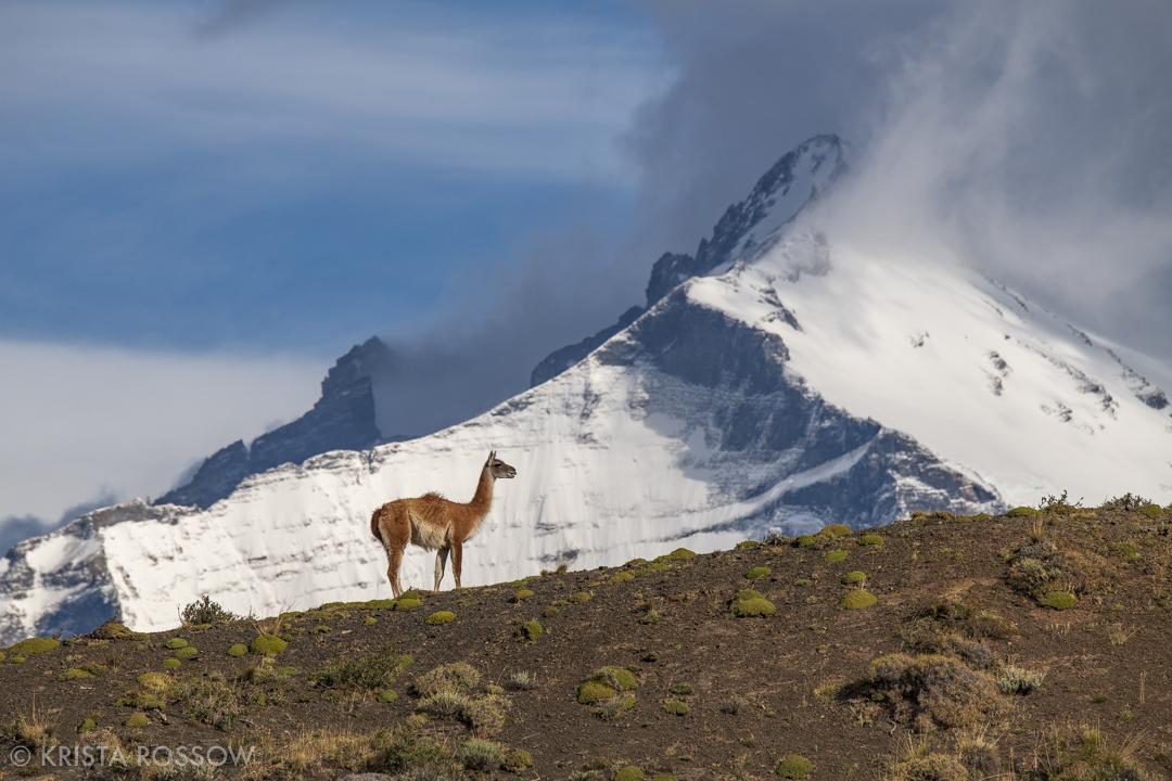 krista-rossow-chilean-patagonia-torres-guanaco