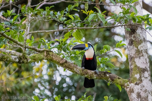 04-krista-rossow-peru-amazon-toucan