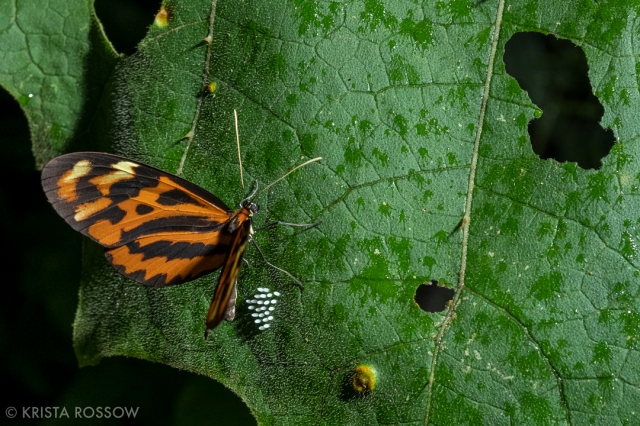 16-krista-rossow-peru-amazon-butterfly-eggs