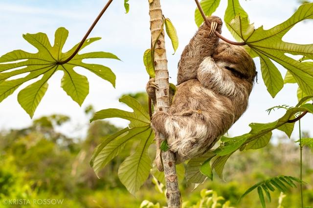 03-Krista-Rossow-baby-animals-sloth-amazon