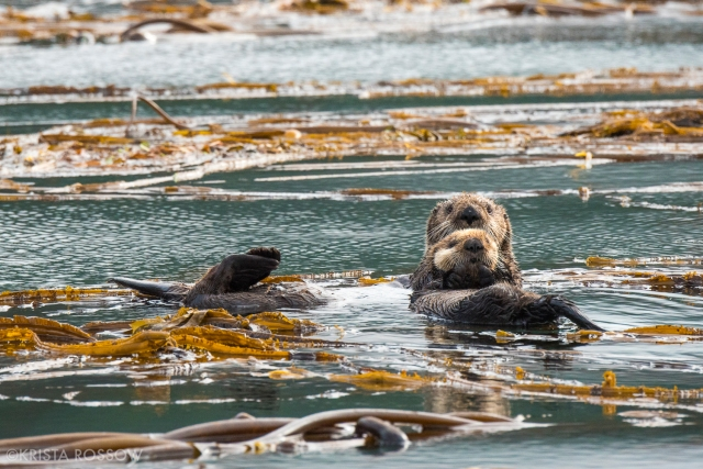 06-Krista-Rossow-baby-animals-sea-otters-alaska