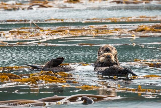 06-Krista-Rossow-baby-animals-sea-otters-alaska