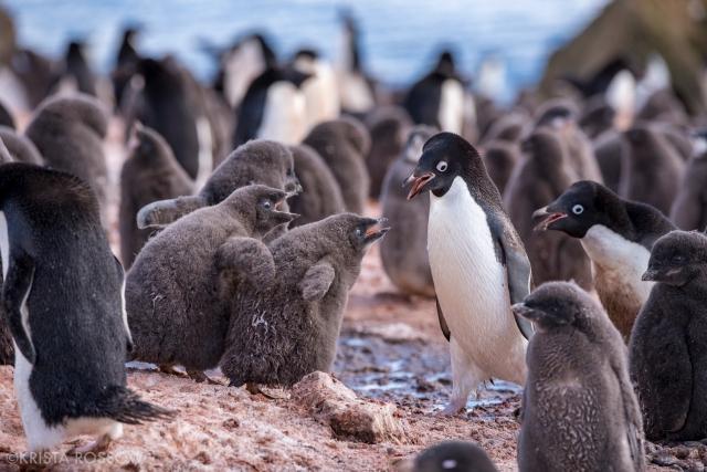 08-Krista-Rossow-baby-animals-adelie-penguins-antarctica