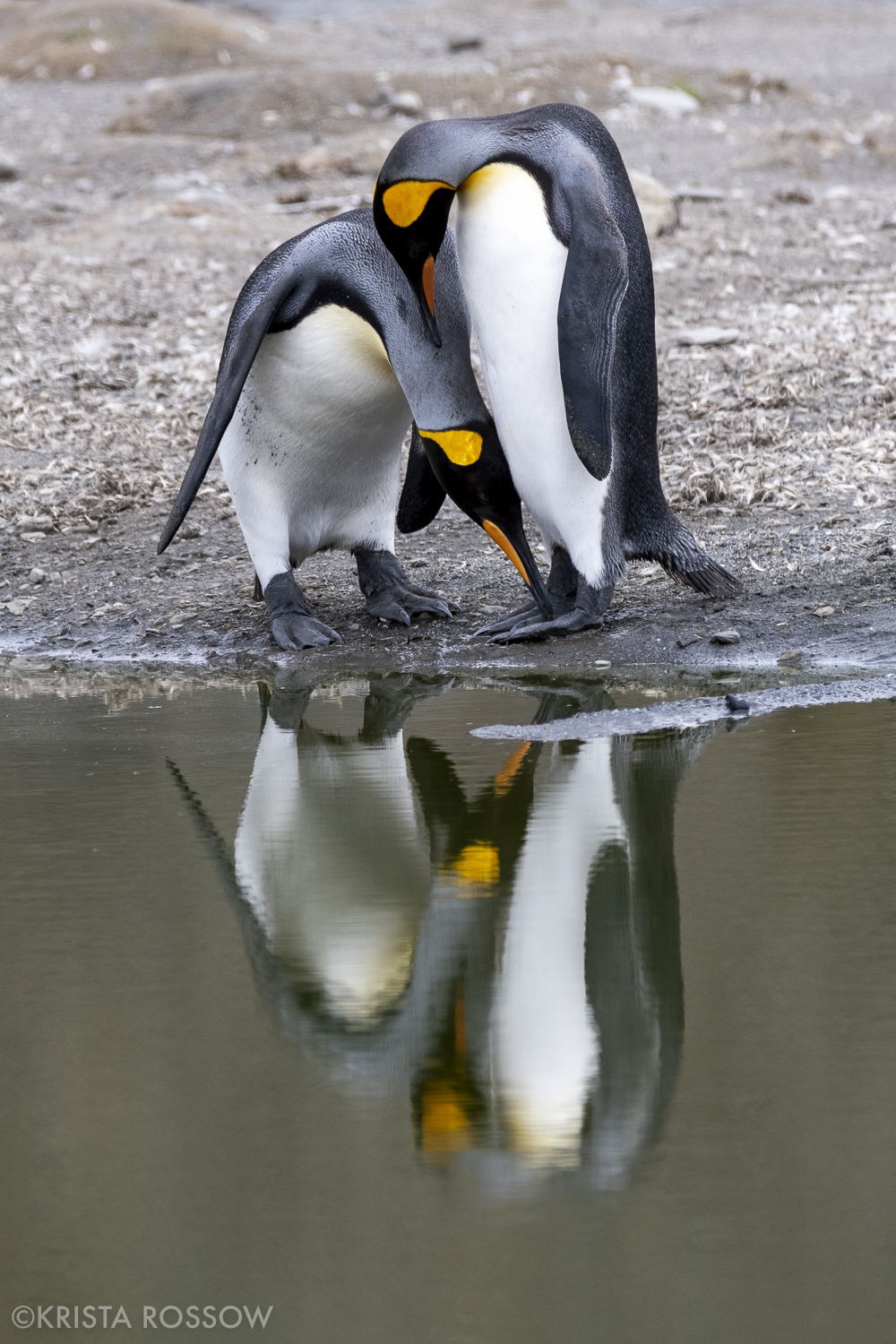 11-Krista-Rossow-South-Georgia-king-penguin-love