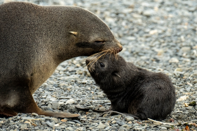 12-Krista-Rossow-baby-animals-fur-seals-south-georgia