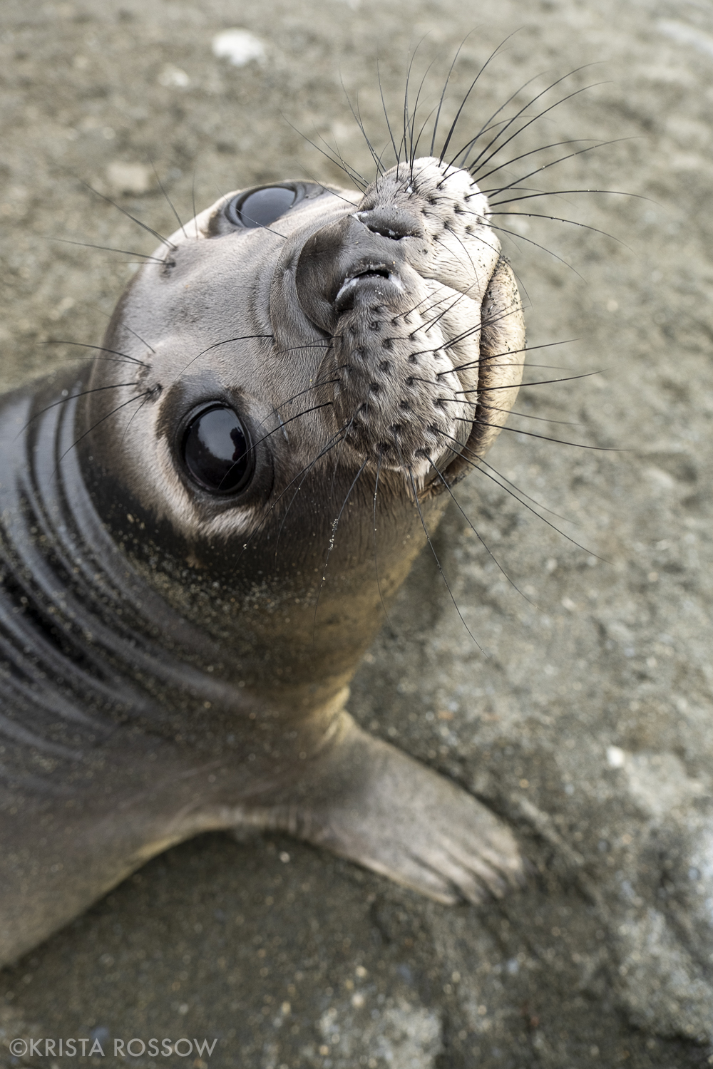 13-Krista-Rossow-baby-animals-elephant-seal-south-georgia