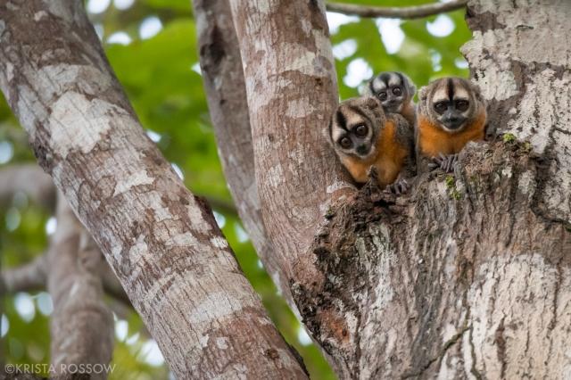 14-Krista-Rossow-baby-animals-night-monkeys-amazon