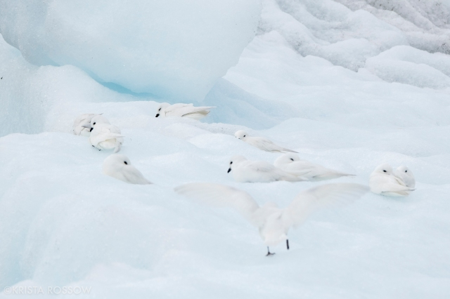 14-Krista-Rossow-South-Georgia-snow-petrels
