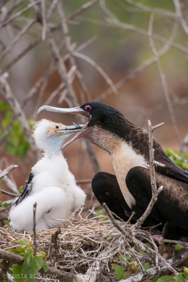 15-Krista-Rossow-baby-animals-frigatebird-galapagos