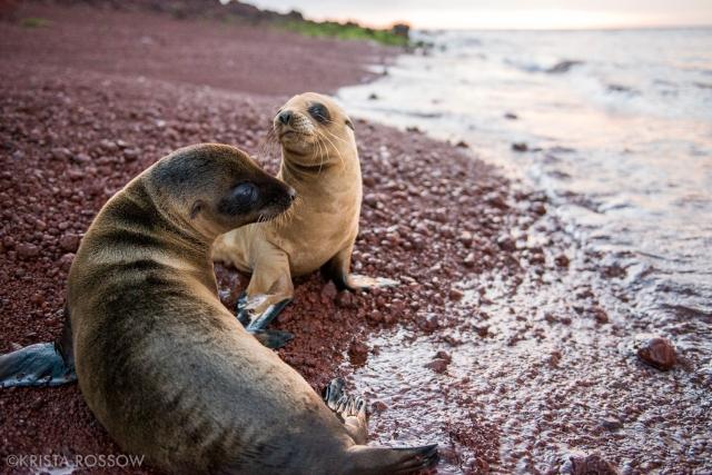 16-Krista-Rossow-baby-animals-sea-lions-rabida