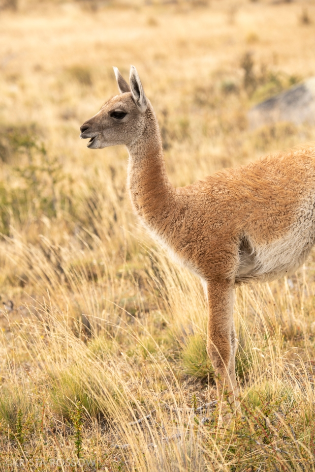 17-Krista-Rossow-baby-animals-vicuna-patagonia