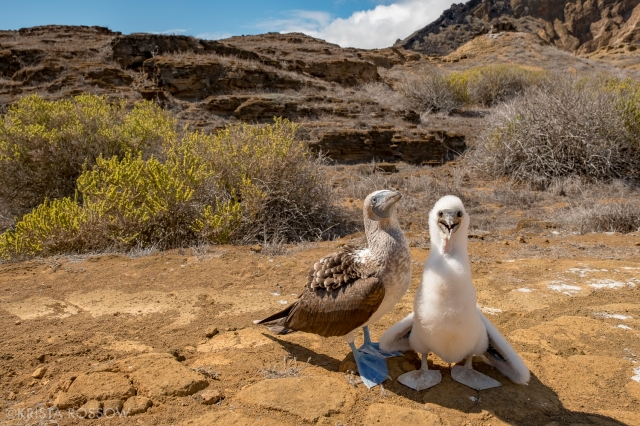 18-Krista-Rossow-baby-animals-blue-footed-boobies