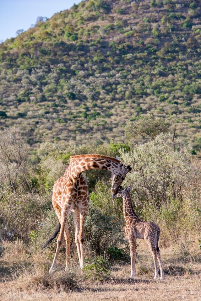 Safari in the Maasai Mara National Reserve in Kenya.