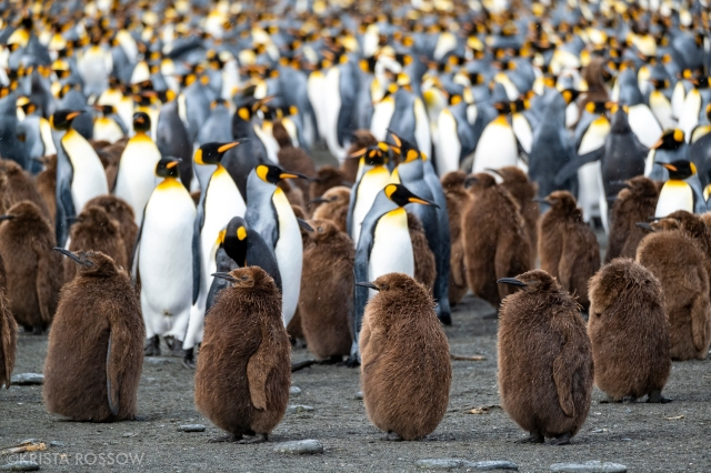 20-Krista-Rossow-baby-animals-king-penguins-south-georgia