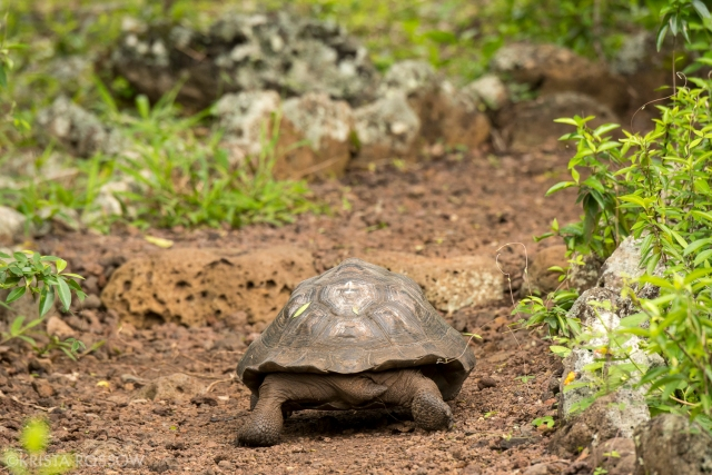 21-Krista-Rossow-baby-animals-tortoise-galapagos